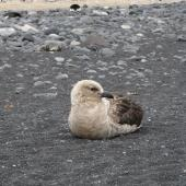 South Polar skua. Adult intermediate morph resting on beach. Cape Bird, December 2012. Image © Terry Greene by Terry Greene