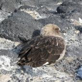 South Polar skua. Adult sheltering from gale. Cape Royds, November 2011. Image © Terry Greene by Terry Greene