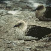 South Polar skua. Pale morph adult roosting. Cape Bird, Antarctica. Image © Department of Conservation (image ref: 10034148) by Chris Robertson, Department of Conservation Courtesy of Department of Conservation