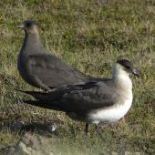 Arctic skua. Breeding adults, dark and pale morphs. Fair Isle, Scotland, June 2011. Image © Tony Crocker by Tony Crocker