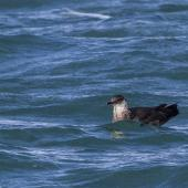 Arctic skua. Non-breeding adult on water. Gulf Harbour, Auckland, March 2018. Image © Oscar Thomas by Oscar Thomas