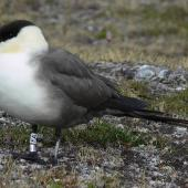Long-tailed skua. Breeding adult near nest. Ny London, Svalbard, July 2011. Image © Tony Crocker by Tony Crocker