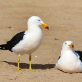 Franklin's gull. Pacific gull Adult pair. Venus Bay, South Australia, August 2016. Image © John Fennell by John Fennell