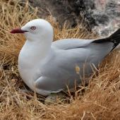 Red-billed gull. Adult on nest. Cape Brett, Northland, November 2018. Image © Michelle Martin by Michelle Martin