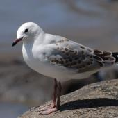 Red-billed gull. Juvenile. Muriwai, January 2009. Image © Peter Reese by Peter Reese