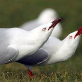 Red-billed gull. Adults in forward posture display. Whanganui River estuary, June 2013. Image © Ormond Torr by Ormond Torr