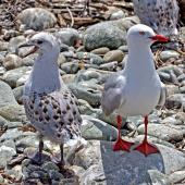 Red-billed gull. Adult (right) and juvenile. Boulder Bank, Nelson, December 2011. Image © Rebecca Bowater by Rebecca Bowater  FPSNZ www.floraandfauna.co.nz