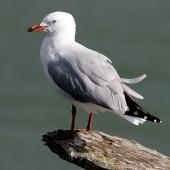Red-billed gull. Adult non-breeding. Wanganui, March 2009. Image © Ormond Torr by Ormond Torr