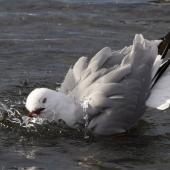Red-billed gull. Adult bathing. Avon-Heathcote estuary, June 2014. Image © Steve Attwood by Steve Attwood http://www.flickr.com/photos/stevex2/