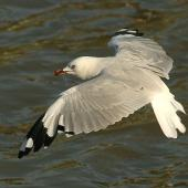 Red-billed gull. Adult. Wanganui, March 2010. Image © Ormond Torr by Ormond Torr