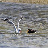 Red-billed gull. Trying to steal food from a South Island pied oystercatcher. Little Waihi, February 2012. Image © Raewyn Adams by Raewyn Adams