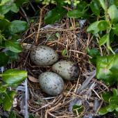 Red-billed gull. Nest with 3 eggs. Cape Brett, Northland, November 2018. Image © Michelle Martin by Michelle Martin