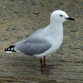 Red-billed gull. Immature. Oamaru, February 2019. Image © Alan Tennyson by Alan Tennyson