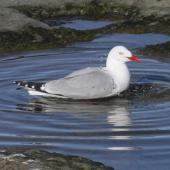 Red-billed gull. Adult bathing. Flat Rock, Cape Kidnappers, November 2012. Image © Dick Porter by Dick Porter