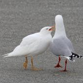 Red-billed gull. Adult with leucistic juvenile. Nelson Haven, July 2018. Image © Rebecca Bowater FPSNZ AFIAP by Rebecca Bowater www.floraandfauna.com