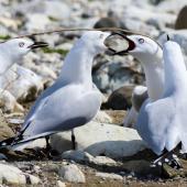 Black-billed gull. Adults in territorial dispute. Waima/Ure River mouth, September 2019. Image © Derek Templeton by Derek Templeton take.aim.kiwi@gmail.com