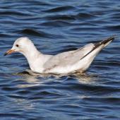 Black-billed gull. Juvenile. Henley Lake, Masterton, March 2009. Image © Duncan Watson by Duncan Watson