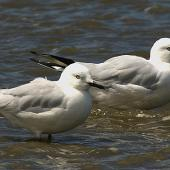 Black-billed gull. Adults. Whanganui, February 2006. Image © Ormond Torr by Ormond Torr