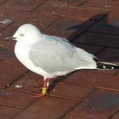 Black-billed gull. Banded non-breeding adult, 3.5 years old. Picton, June 2015. Image © Alan Tennyson by Alan Tennyson
