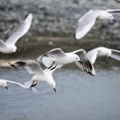Black-billed gull. Flock hovering above a river. Rakaia River, December 2015. Image © Adam Higgins by Adam Higgins Courtesy of AHiggins Photography - www.ahigginsphotography.com.au