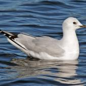 Black-billed gull. Immature bird on freshwater lake. Henley Lake, Masterton, March 2009. Image © Duncan Watson by Duncan Watson