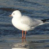 Black-billed gull. Immature (second summer). Waikanae River estuary, April 2010. Image © Alan Tennyson by Alan Tennyson