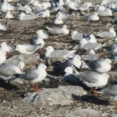 Black-billed gull. Mixed breeding colony of black-billed gulls and red-billed gulls. Lake Rotorua, December 2001. Image © Tamas Zeke by Tamas Zeke ed flock of
