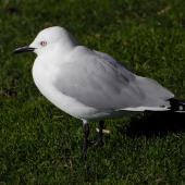 Black-billed gull. Adult. Picton, July 2009. Image © Peter Reese by Peter Reese