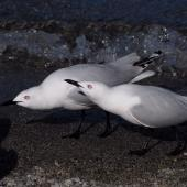 Black-billed gull. Two adults displaying. Queenstown, October 2008. Image © Peter Reese by Peter Reese