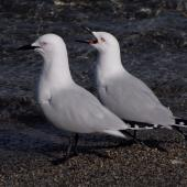 Black-billed gull. 2 adult birds, one calling. Queenstown, October 2008. Image © Peter Reese by Peter Reese