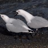 Black-billed gull. Pair displaying. Queenstown, October 2008. Image © Peter Reese by Peter Reese