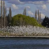 Black-billed gull. Breeding colony on braided river. Oreti River, Northern Southland, September 2012. Image © Glenda Rees by Glenda Rees http://www.flickr.com/photos/nzsamphotofanatic/