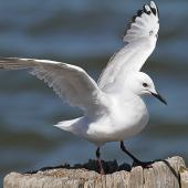 Black-billed gull. Juvenile, showing wing markings. Whanganui, December 2012. Image © Ormond Torr by Ormond Torr