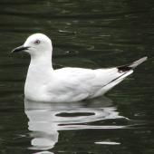 Black-billed gull. Adult on water. Ashburton Botanic Gardens, January 2015. Image © Oscar Thomas by Oscar Thomas https://www.flickr.com/photos/kokakola11
