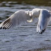 Black-billed gull. Adult carrying fish (either yellow-eyed mullet or smelt). Ashley River estuary, North Canterbury, December 2016. Image © Kathy Reid by Kathy Reid www.kathyreidphotography.com