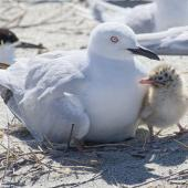 Black-billed gull. Adult on nest with chick. Motueka Sandspit, Tasman Bay, December 2016. Image © Rebecca Bowater by Rebecca Bowater FPSNZ AFIAP www.floraandfauna.co.nz
