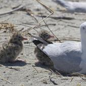 Black-billed gull. Adults nesting with chicks. Motueka Sandspit, Tasman Bay, December 2016. Image © Rebeccca Bowater by Rebeccca Bowater www.floraandfauna.co.nz