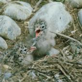 Black-billed gull. Two chicks in nest. Near Twizel. Image © Department of Conservation (image ref: 10050072) by Dave Murray, courtesy of Department of Conservation