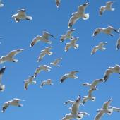 Black-billed gull. Flock in flight. Wairau River. Image © Kate Steffens by Kate Steffens