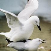 Black-billed gull. Mating pair. Manawatu River estuary, October 2000. Image © Alex Scott by Alex Scott