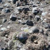 Black-billed gull. Nests with eggs. Wairau River. Image © Kate Steffens by Kate Steffens