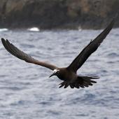 Brown noddy. Adult in flight. Kermadec Islands, March 2021. Image © Scott Brooks (ourspot) by Scott Brooks