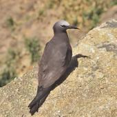 Brown noddy. Adult. Curtis Island, Kermadec Islands, November 1989. Image © Alan Tennyson by Alan Tennyson