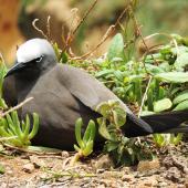 Brown noddy. Adult on nest. Phillip Island, Norfolk Island, November 2016. Image © Ian Armitage by Ian Armitage