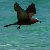 Brown noddy. Adult in flight. Michaelmas Cay, January 2017. Image © Imogen Warren by Imogen Warren
