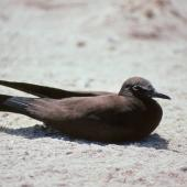 Brown noddy. Immature. Michaelmas Cay, Queensland, August 1991. Image © Colin Miskelly by Colin Miskelly