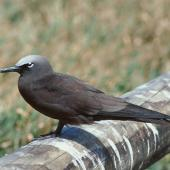 Brown noddy. Adult. Michaelmas Cay, Queensland, August 1991. Image © Colin Miskelly by Colin Miskelly