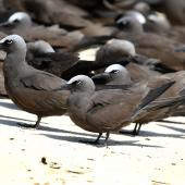Brown noddy. Roosting adults. Michaelmas Cay, Queensland, Australia, July 2015. Image © John Fennell by John Fennell