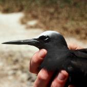 Black noddy. Close up of adult head and bill, natural light. Curtis Island, November 1989. Image © Graeme Taylor by Graeme Taylor