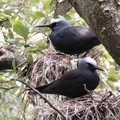 Black noddy. Adults on nests. Phillip Island, Norfolk Island, November 2016. Image © Ian Armitage by Ian Armitage